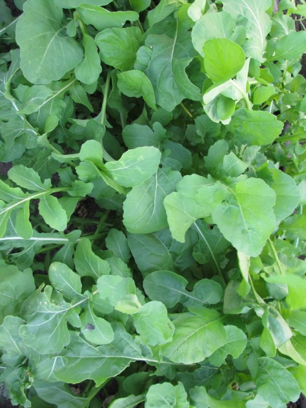 Click to enlarge  Arugula New Crop Small Leaf