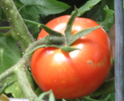 Click to enlarge Red Big Boy Early Tomato Plants