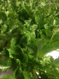 Click to enlarge Green Oakleaf Lettuce