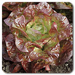 Click to enlarge Head of Lettuce - Red Butterhead