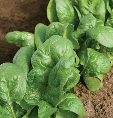 Click to enlarge Certified Naturally Grown Tyee Spinach