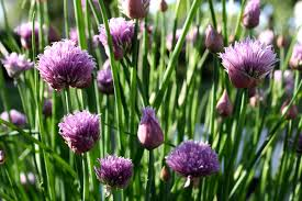 Click to enlarge Chive Blossoms, 2 oz bag
