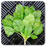 Click to enlarge Certified Naturally Grown Spinach