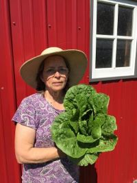 Click to enlarge Leafy Romaine Lettuce