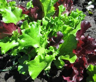 Click to enlarge Leaf Lettuce Red and Green Mix