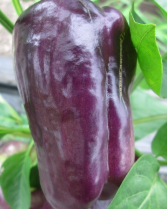 Click to enlarge Purple Pepper Peppers