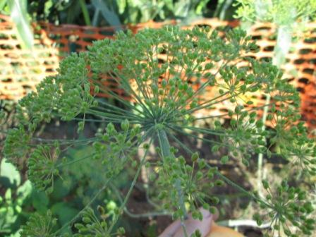Click to enlarge Dill Seed Heads (Umbles)