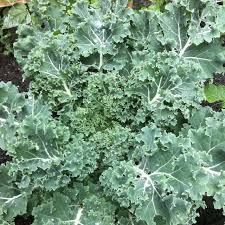 Click to enlarge Kale Vate's Curly Leaf 1/2 lb bag