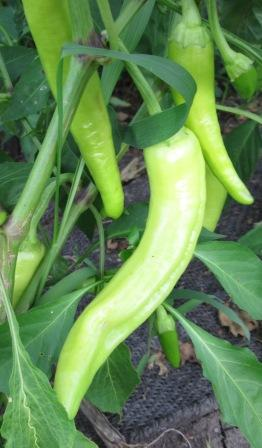 Click to enlarge Hot Banana Peppers