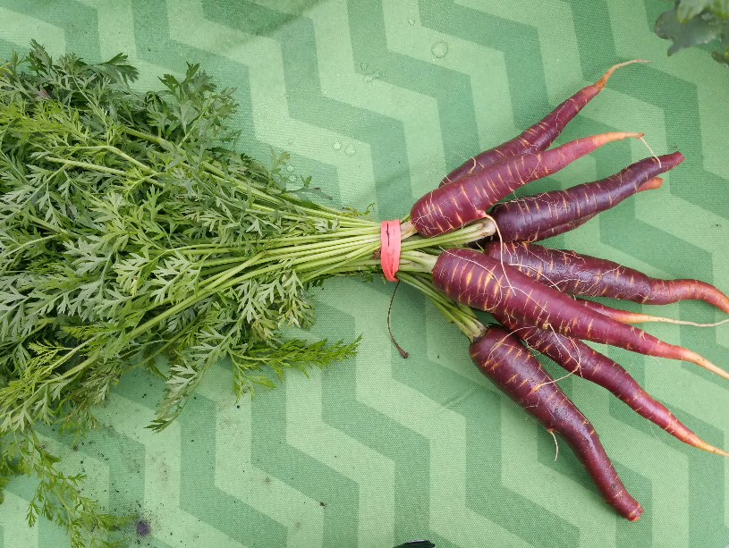 Click to enlarge Purple Carrots