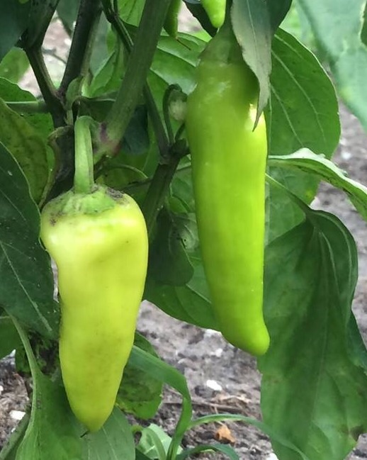 "Click to enlarge Yellow Hungarian Wax ""hot"" Pepper"