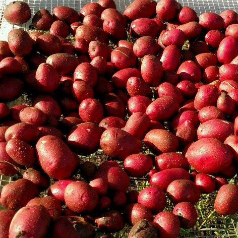 "Click to enlarge Red Potatoes - ""Colorado Rose"""