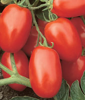 Click to enlarge Roma Tomatoes