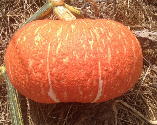 Click to enlarge Red Eye Winter Squash