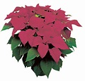 Click to enlarge Poinsettia, Burgundy - Large