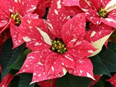 Click to enlarge Poinsettia, Jingle Bells - Large
