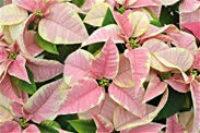 Click to enlarge Poinsettia, Marble - Small