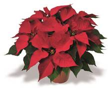 Click to enlarge Poinsettia, Red - Large
