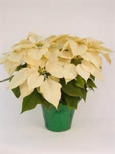 Click to enlarge Poinsettia, White - Small