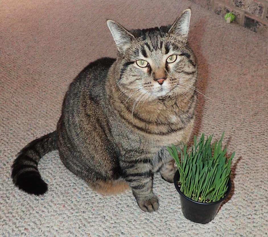 Click to enlarge Cat Grass