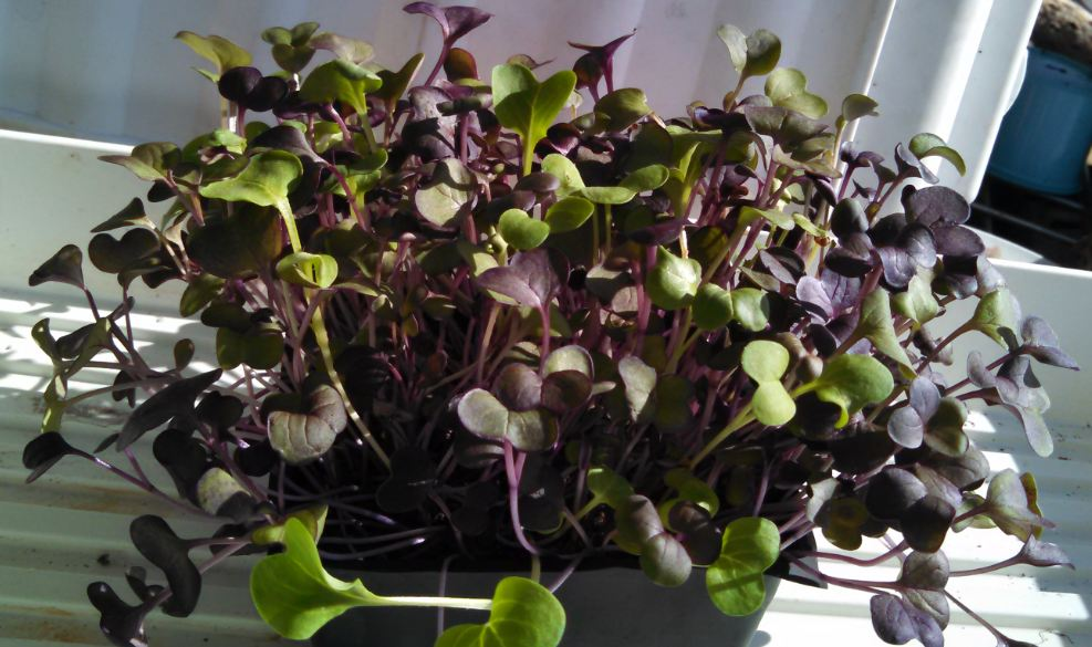 Click to enlarge Red Rambo microgreens