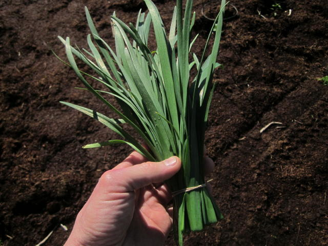 Click to enlarge Garlic chives