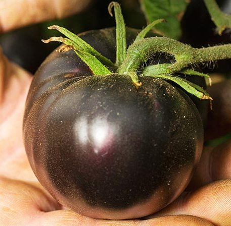 Click to enlarge Black Beauty Heirloom Tomato Seedling
