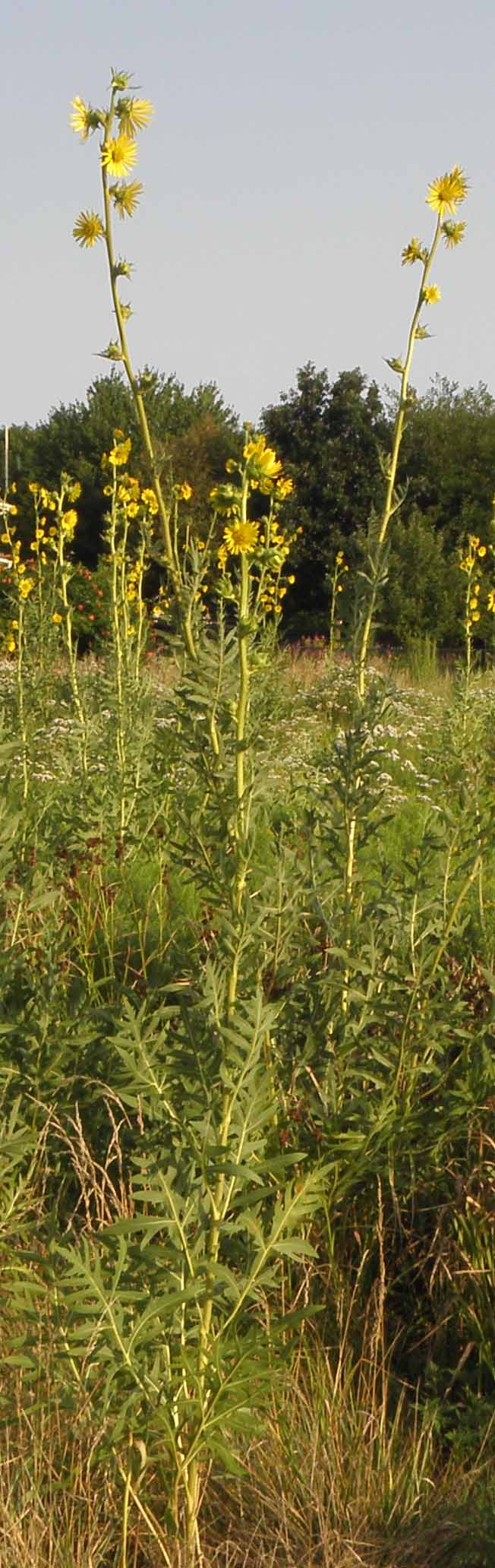 Click to enlarge Compass plant (Silphium laciniatum)
