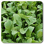 Click to enlarge Arugula