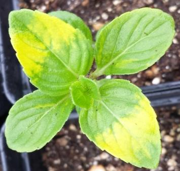 Click to enlarge Mint Seedling, Ginger variety