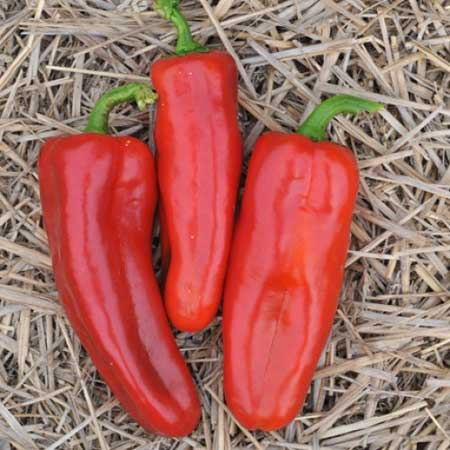 "Click to enlarge Transplant- Red Marconi Sweet Pepper 4"" Pot"