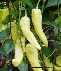 "Click to enlarge Transplant- Sweet Banana Pepper 4"" Pot"