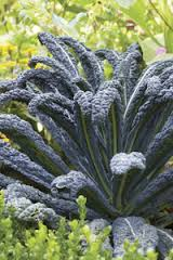 Click to enlarge Transplant- Black Magic Kale (Lacinato Type) 3 pack