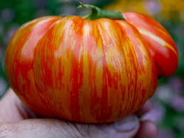 "Click to enlarge Transplant- Beauty King Tomato (heirloom) 4"" Pots"