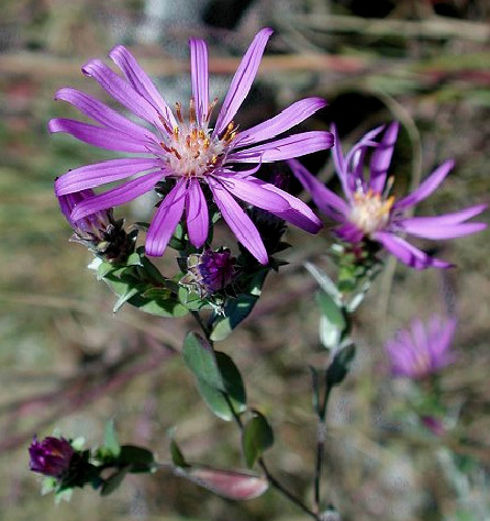 Click to enlarge Silky Aster