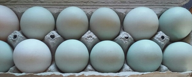 Click to enlarge Duck eggs