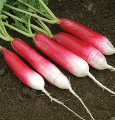 Click to enlarge Cerified naturally grown D'avignon Radish