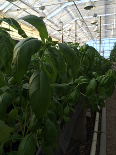 Click to enlarge Fresh Cut Basil 1/2lb Bag