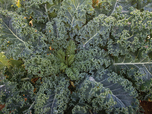 Click to enlarge Kale: Blue Curled Scotch