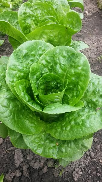 Click to enlarge Butterhead Variety Lettuce 8oz