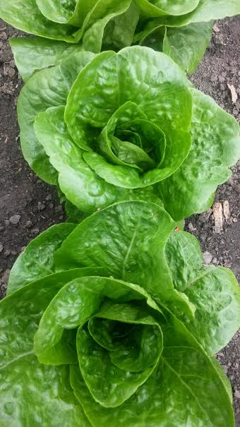 Click to enlarge Butterhead Lettuce Variety 12oz