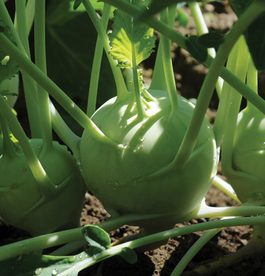 "Click to enlarge Certified Naturally Grown ""White Vienna"" Kohlrabi"