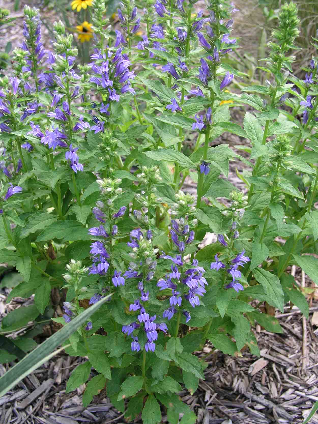 Click to enlarge Blue Lobelia (Lobelia siphilitica)