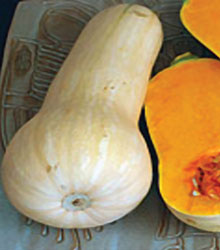 Click to enlarge Butternut Winter Squash Heirloom Plant Transplant