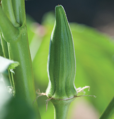 Click to enlarge Certified Naturally Grown Green Okra