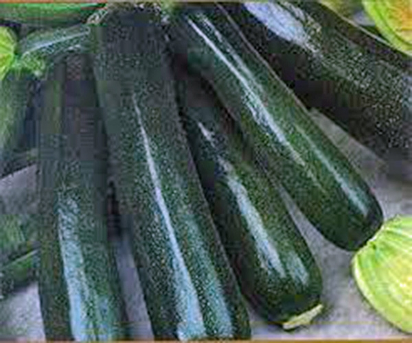 Click to enlarge Black Beauty Zucchini Squash