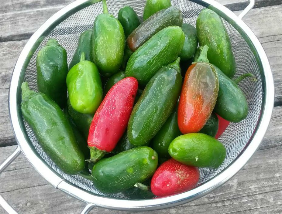 Click to enlarge One Pound Pack of Jalapeno Peppers
