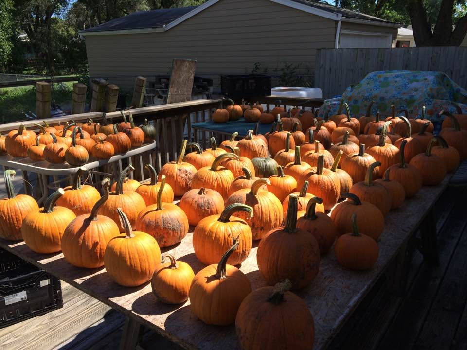 Click to enlarge Pie Pumpkins