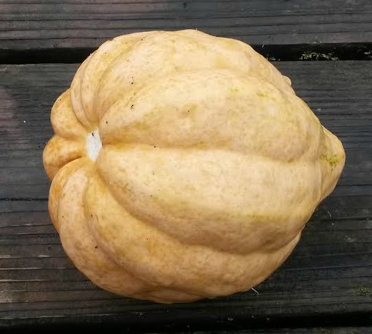 Click to enlarge Thelma Sanders Acorn Shaped Squash Mama Bear Size (1.5 to 2 pounds)