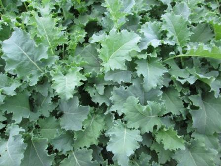 Click to enlarge Curly Green Kale